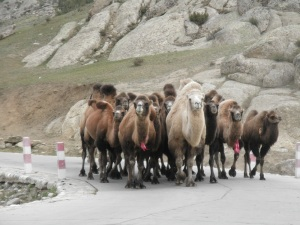 Camels of all kinds seen in the region